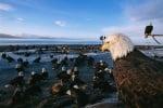 Белоглав орел на брега