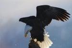 Птица белоглав орел