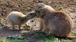 Целувка между прерийни кученца