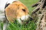 Куче яде трева