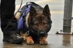 Полицейско куче сега