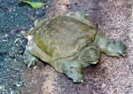 Китайска мекочерупческа костенурка