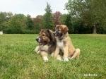 Декстър и Крикс - любимите ми кавказки овчарки