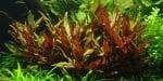"""Alternanthera reineckii Pink"" - Растение за аквариум"