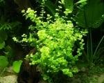 """""""Micranthemum Sp."""" (Бебешки сълзи) - Растение за аквариум"""