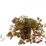 Ludwigia palustris potted