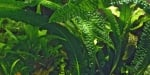 """Aponogeton boivinianus"" - Растение за аквариум"