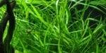 """""""Hygrophila angustifolia"""" - Растение за аквариум"""
