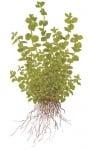 Micranthemum Sp. Бебешки сълзи, Перлена трева