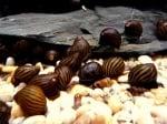 Neriti snail Неритина -2см