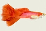 guppy red