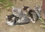 Четири малки котенца спят заедно