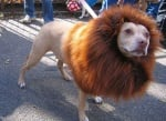 Куче или лъв