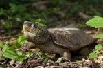 Главеста костенурка