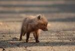 Бебе лисица
