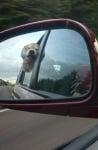 Акита в кола