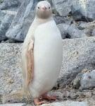 Албинос пингвин