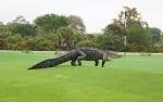 Гигантски алигатор се разхожда на голф игрище във Флорида