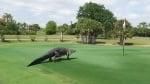 Алигатор се разхожда из голф игрище