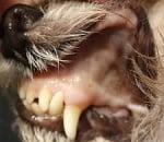 Анемия при Бабезиоза куче