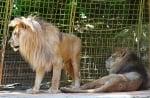 Английска фондация спасява два лъва от български цирк