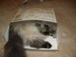 Ангорска котка в кутия