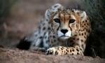 Азиатските гепарди са на ръба на изчезването