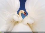 Бял лебед