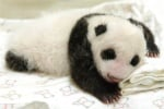 Бебе пандичка в Тайван