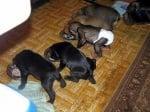 Бебе шимпанзе се храни с малки кученца