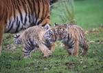 Бебета тигърчета 2016