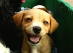 Бежово малко кученце