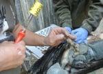 Белоглав лешояд, уловен в Йордания