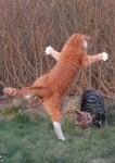 Бой между котки