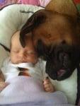 Боксер куче с бебе