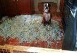 Боксер разкъсал възглавници