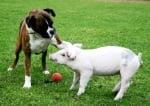Боксер си играе с прасе