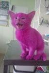 Боядисано розово коте