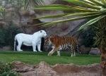 Бял тигър албинос