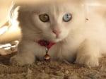 Бяла котка с червена каишка и различни очи