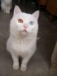 Бяла котка с различини очи