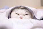 Бяла котка в завивките