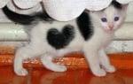 Бяло-черно котенце