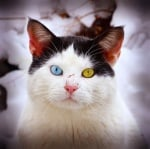 Бяло и черно коте с различни очи