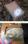 Бяло коте в кутия