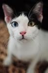 Бяло котенце с различаващи се очи