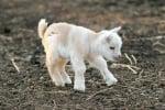 Бяло козле
