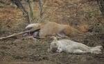 Бременна антилопа и лъвица