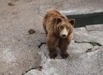 Британци спасяват мечки от България