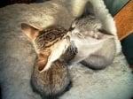 Целуващи се котки